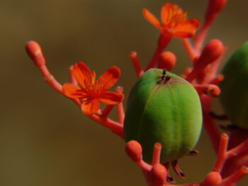 plante corail - jatropha