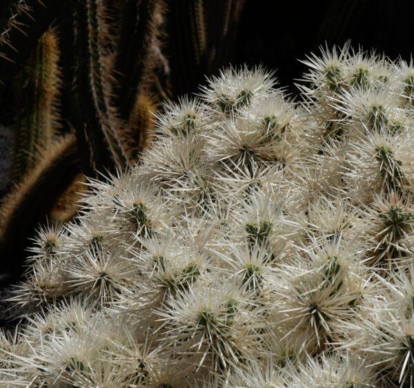 Opuntia tunicates