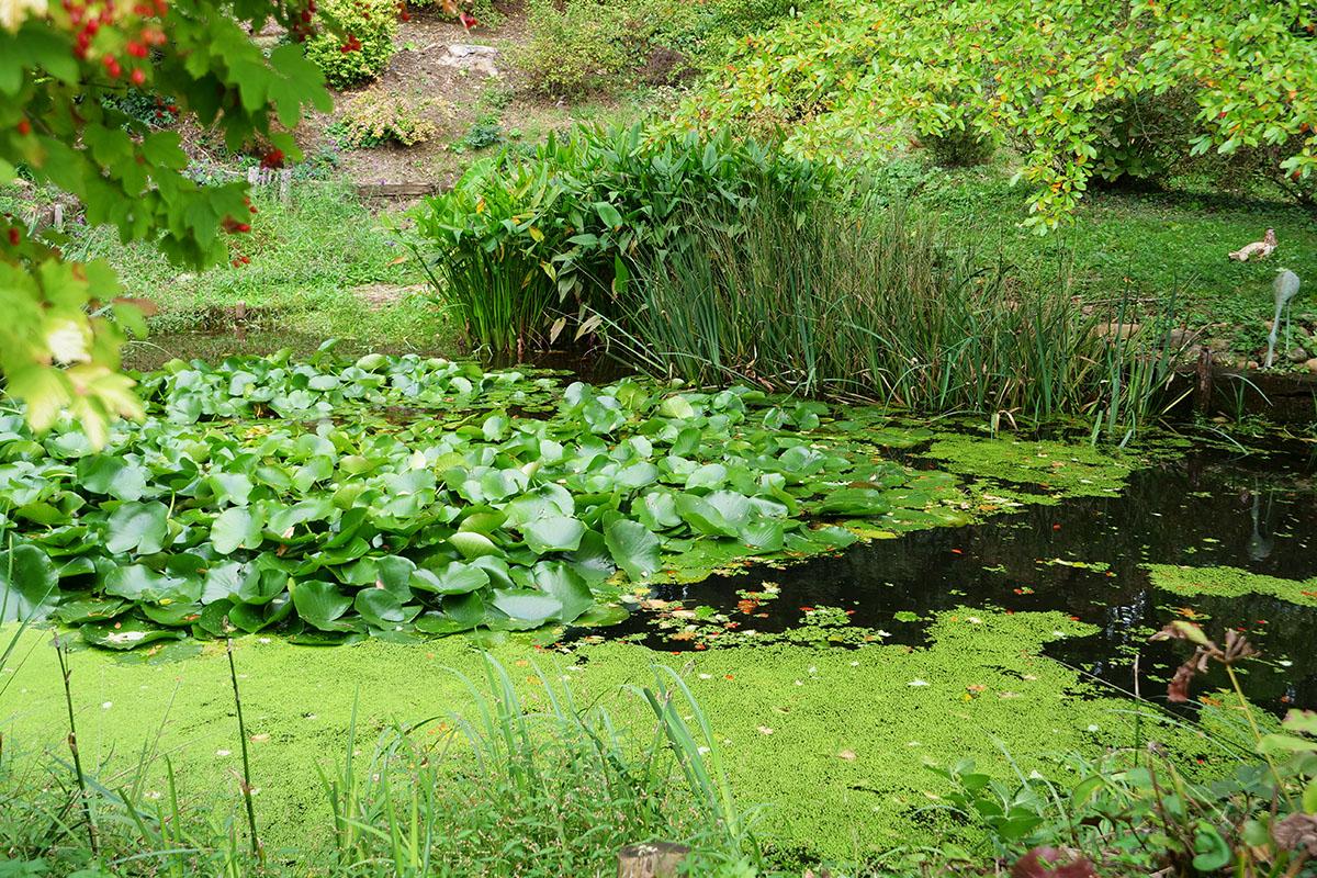 nymphea, lentille d'eau : plantes d'eau