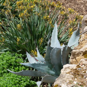 agave rustique