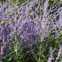 perovskia : arbustes qui résistent à la sécheresse