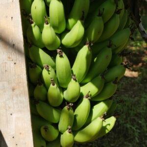 tout sur les bananiers