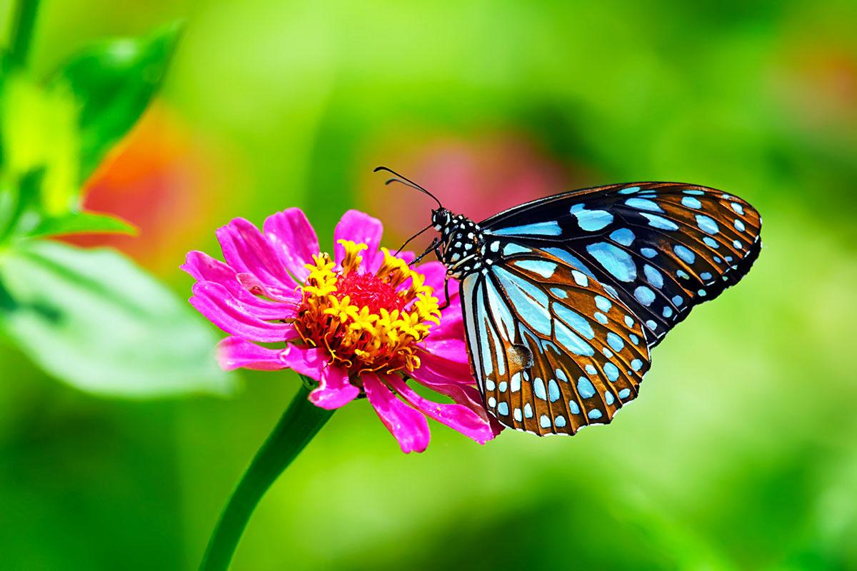 papillon sur zinnia