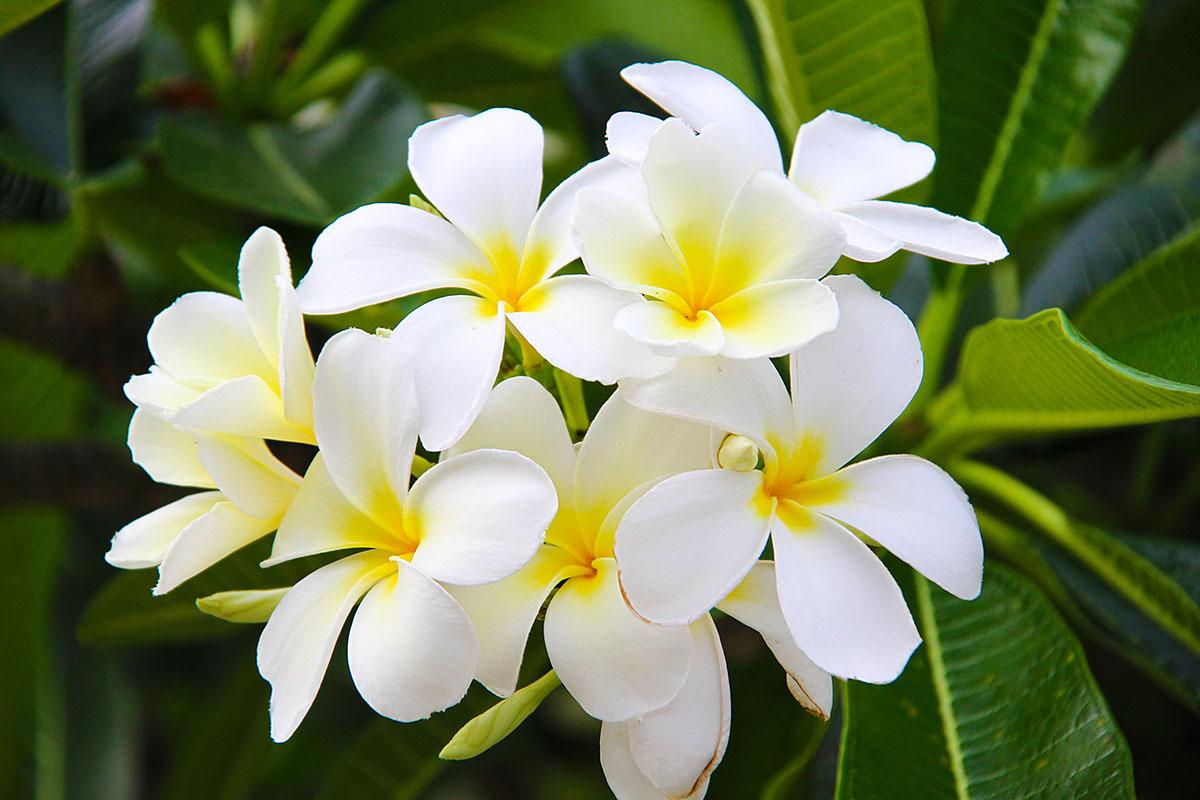 Gardenia taitensis : tiare
