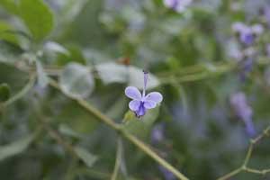 clerodendron myricoides ugandense