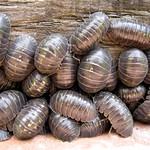 Cloporte - Oniscus asellus