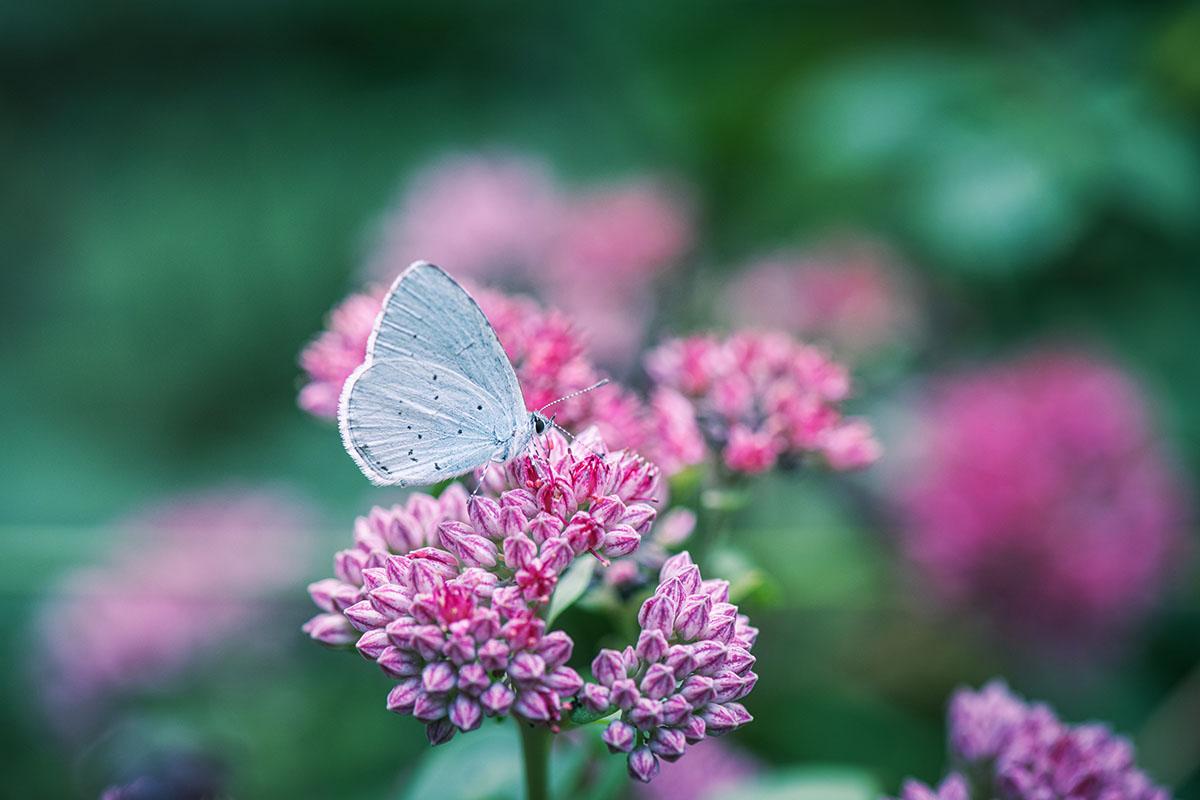 papillon sur sedum