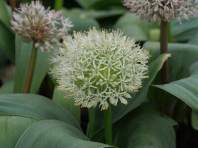 aulx d'ornement - Allium 'Ivory Queen'