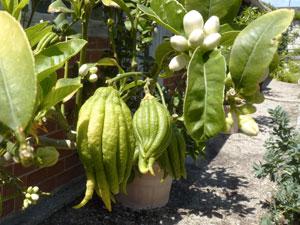 Citron main de bouddha