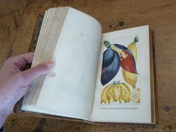 Rochefort - La banane, planche tirée du livre Espèces et flore pittoresque médicale des Antilles