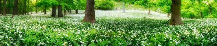 Plantes médicinales et aromatiques : ail des ours
