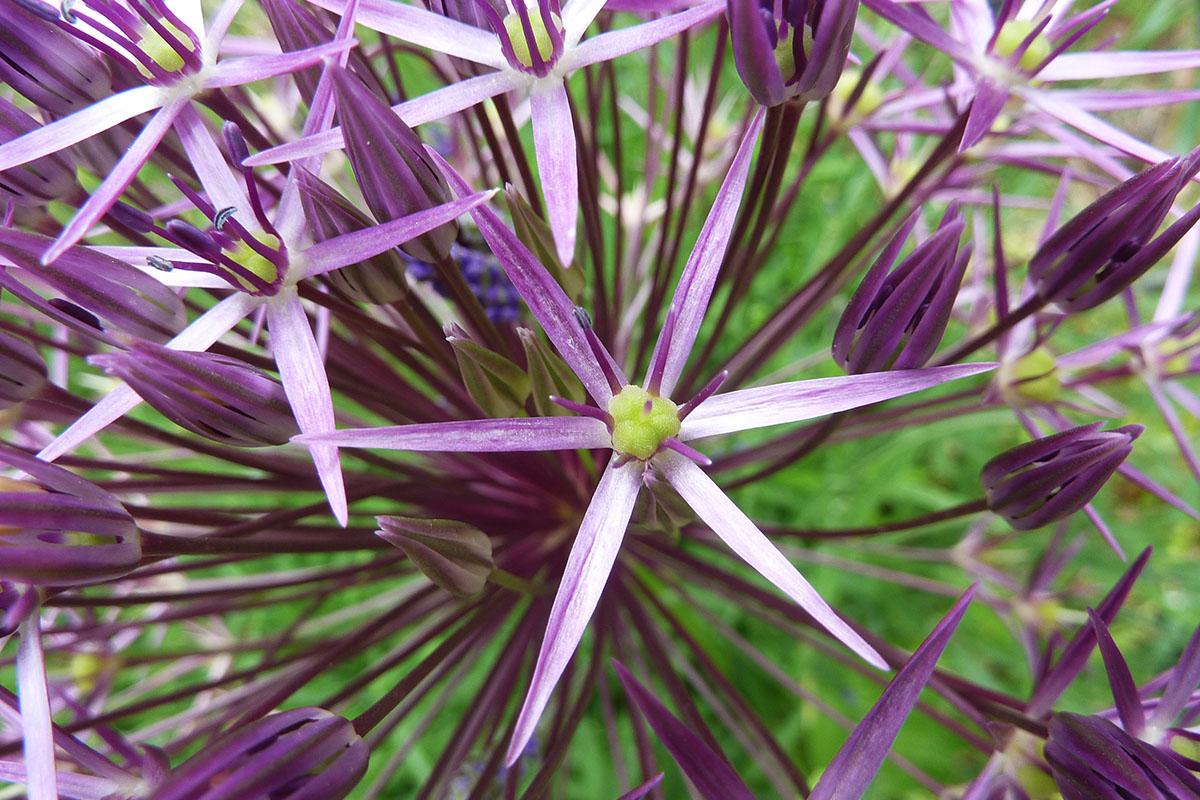aulx d'ornement - Allium christophii