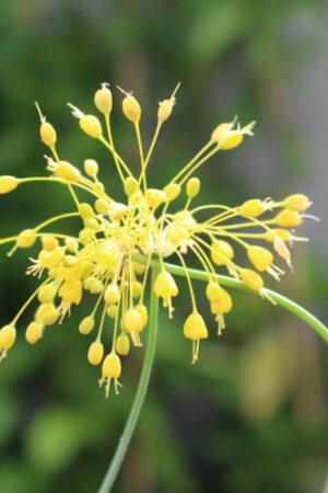 aulx d'ornement - Allium flavum