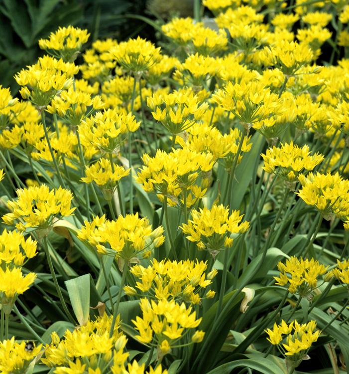 aulx d'ornement - Allium moly