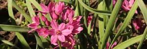 aulx d'ornement - Allium oreophilum