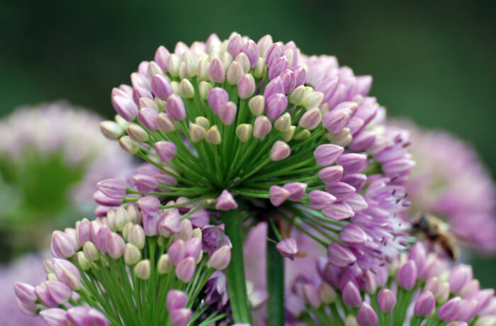 aulx d'ornement - Allium senescens