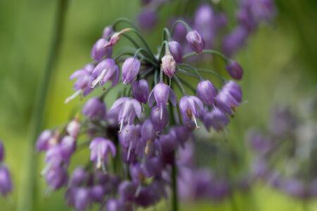 aulx d'ornement - Allium sikkimese