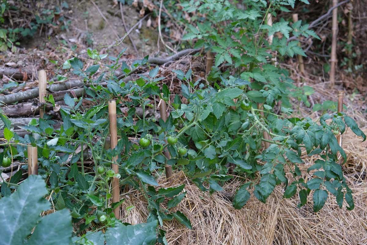 Faire pousser des tomates en forêt