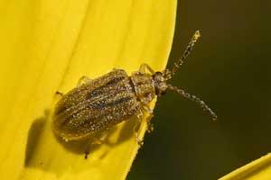 Ophraella communa : prédateur de l'ambroisie