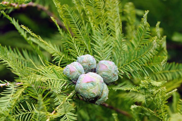 taxodium distichum fruit
