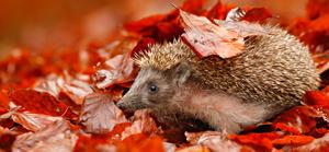 Hérisson dans le feuilles