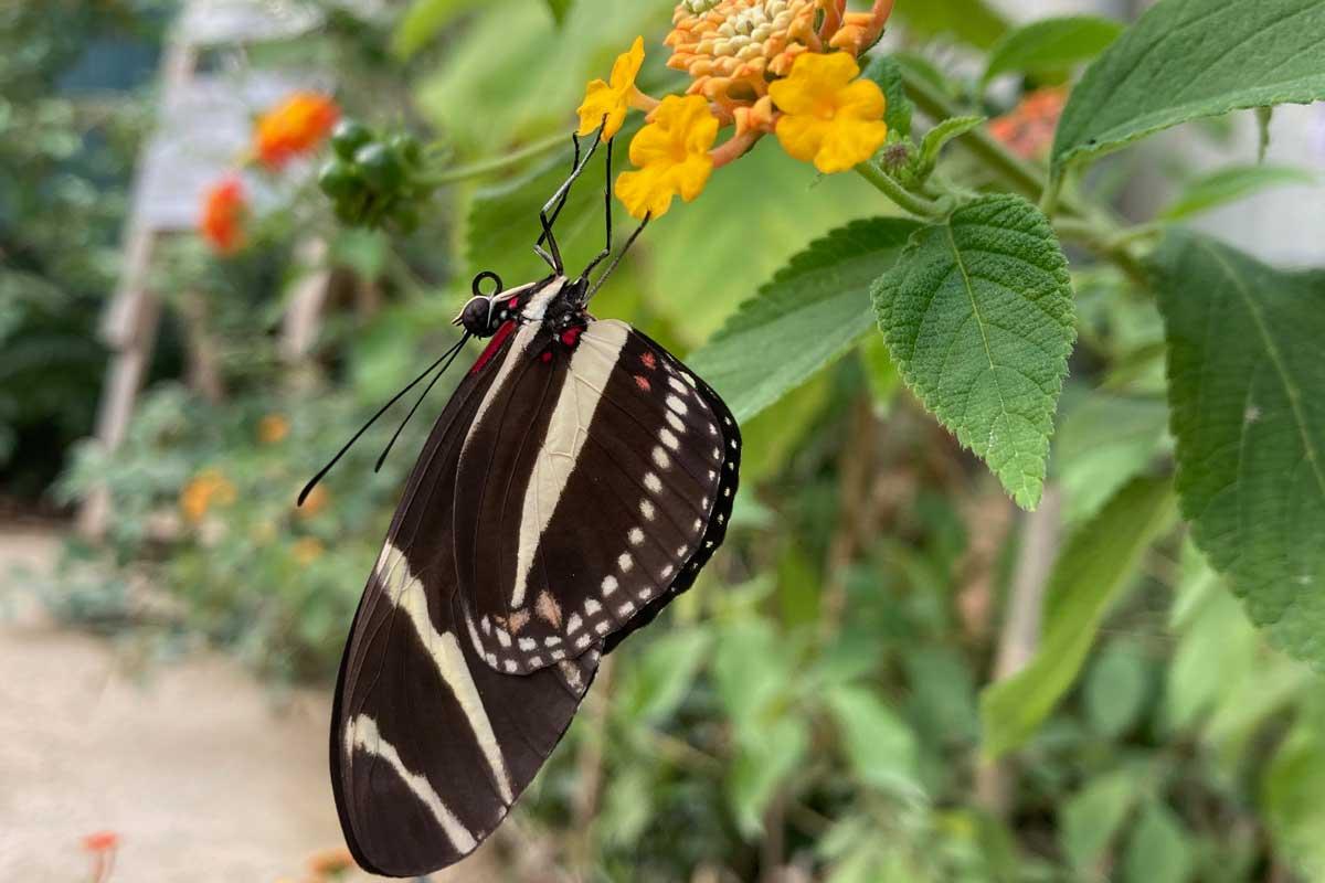 Papillon - Jardin des tropiques