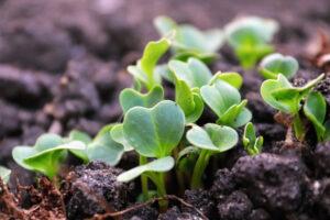 germination radis