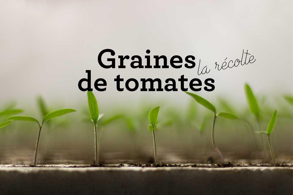 Récoltez les graines des tomates