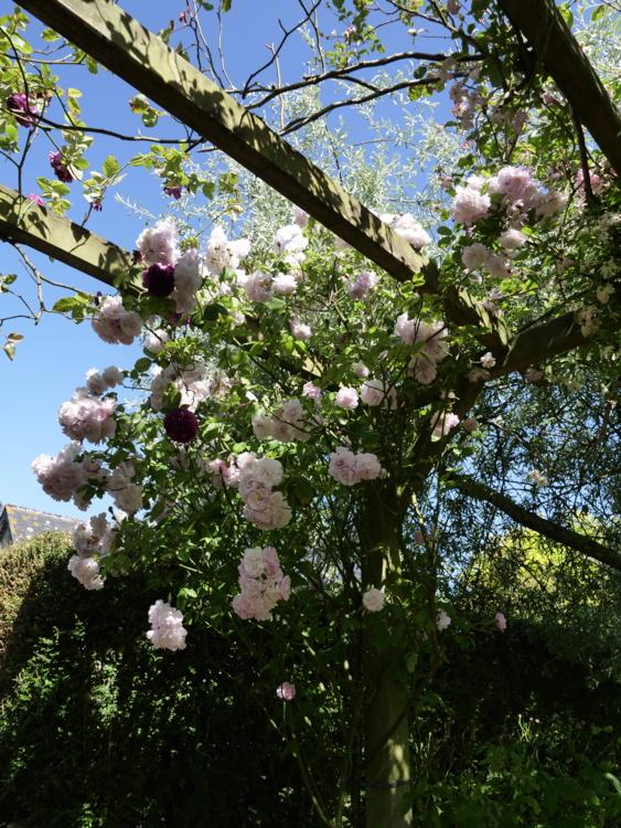 rosier dans le Cotentin