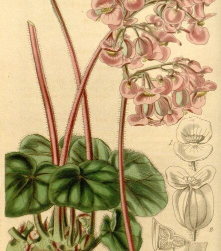 bégonias pour terrarium : bégonia tropical