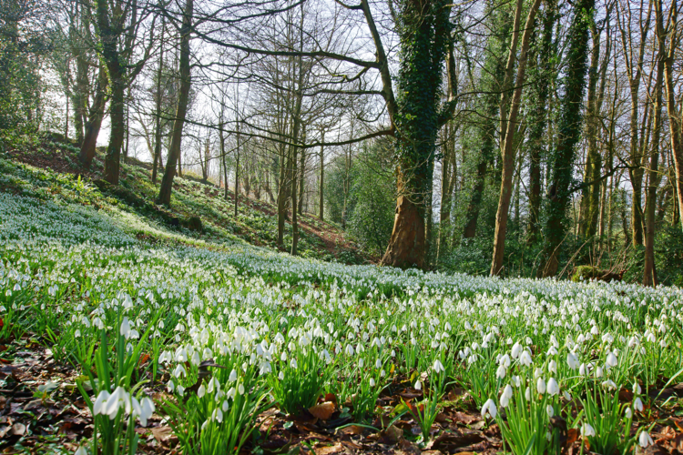champs de perce-neige en Angleterre