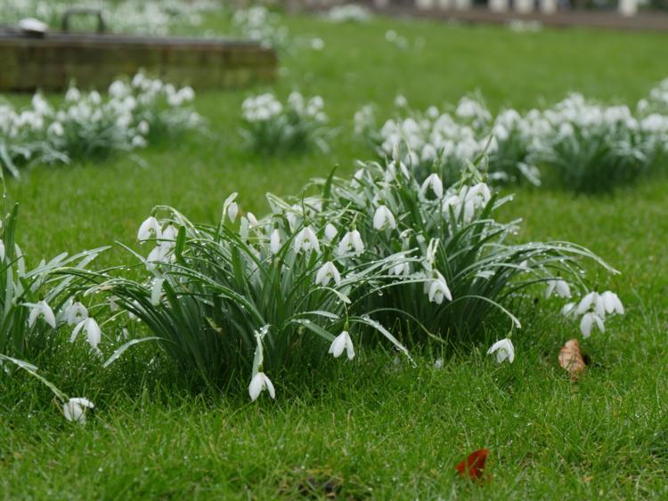 les perce-neige de printemps