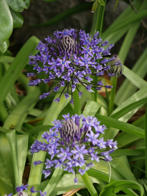 Scille du Pérou : plante bulbeuse
