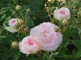 Rose 'Cuisse de Nymphe émue'