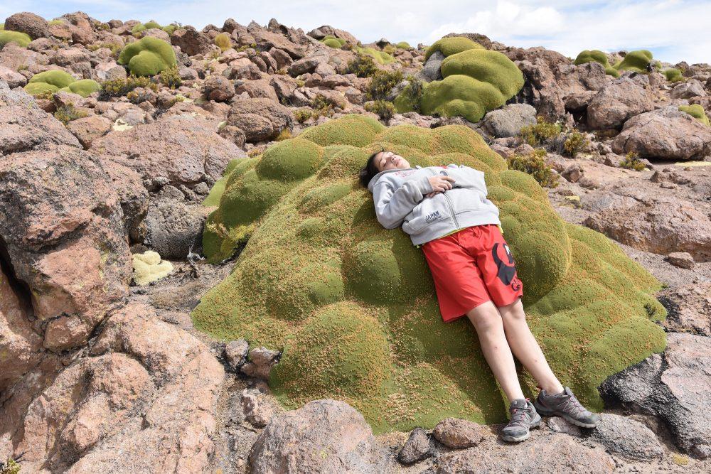 Azorella compacta, la plante qui pleure... Par Jean-Louis ...