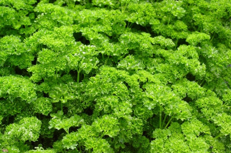 Plantes indéfrisables : persil