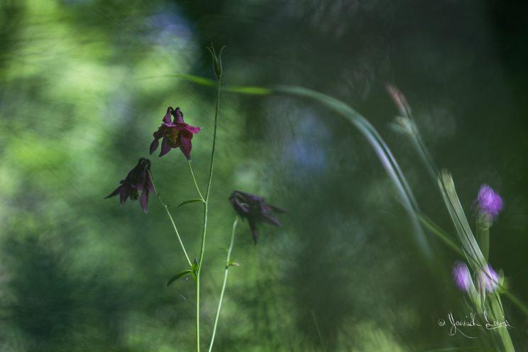 Aquilegia atrata -Ancolie noiratre©Yannick Lenoir