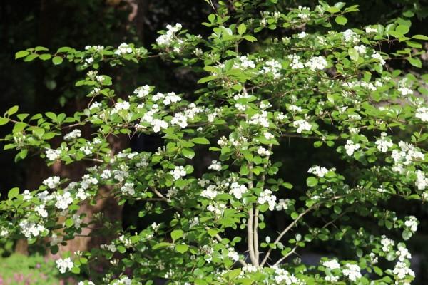 Crataegus ashei (Caroline du N.)