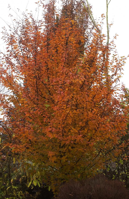Carpinus betulus 'Orange Retz - Hortus Focus