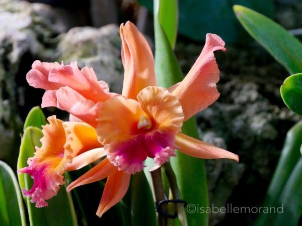 Cattleya Or de Valec