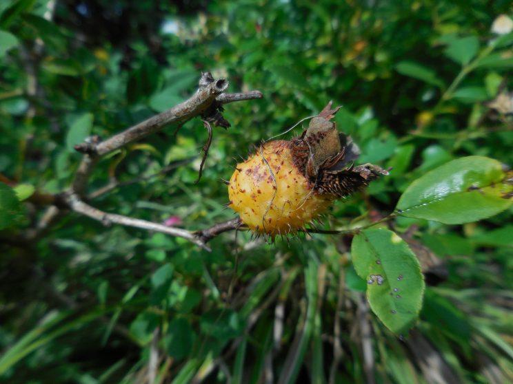 Cynorrhodon de Rosa roxburghii Purpurea Plena©LydieMailloux