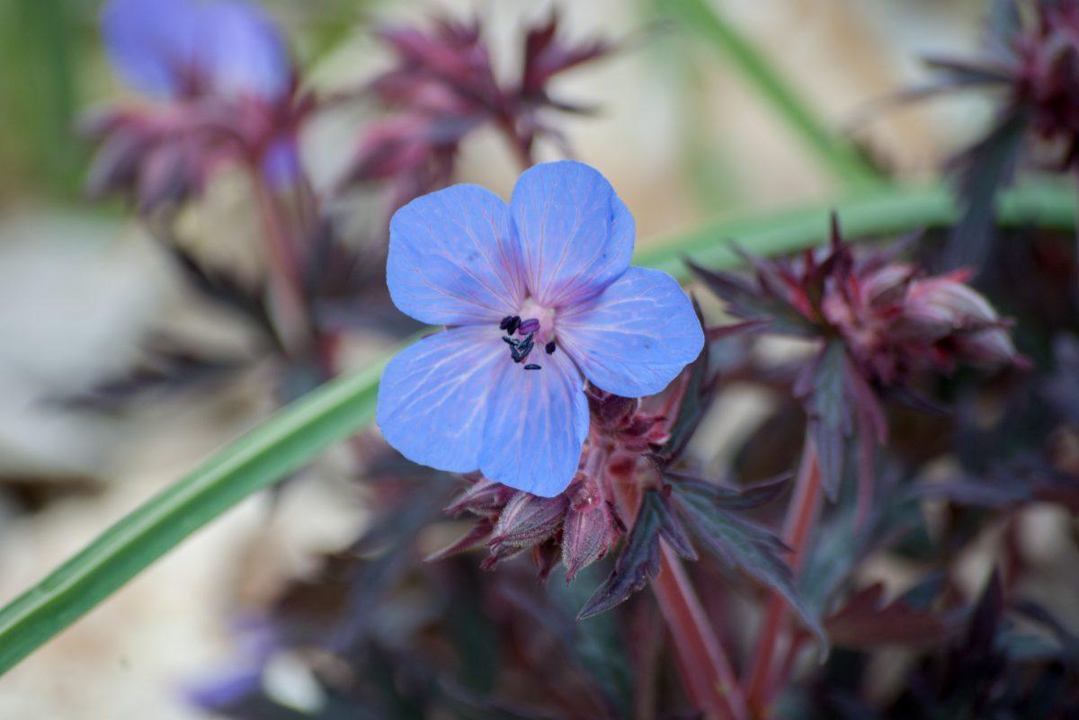 Geranium 'Hocus Pocus'
