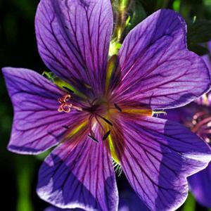 Geranium-ibericum-platypetalum