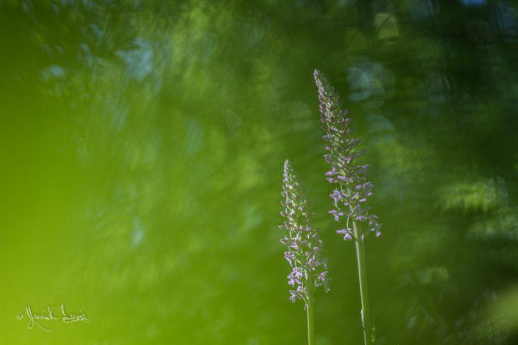 Gymnadenia conopsea- Orchis moustique moucheron©Yannick Lenoir