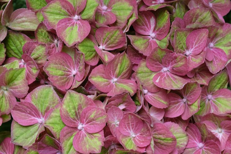 Hydrangea macrophylla 'Magical Green Fire'. ©D. Hirsch