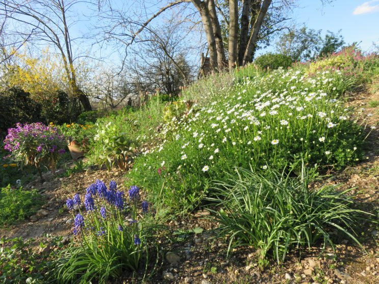 La Matricaria tchihatchewii au printemps. ©ArnaudBrouté