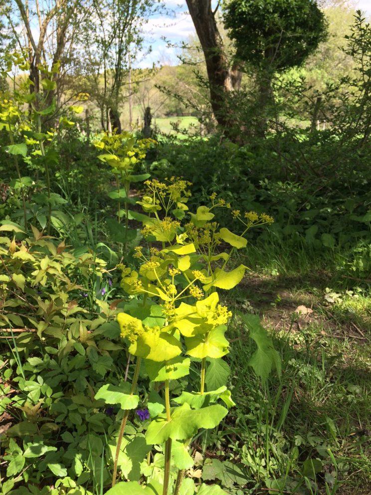 Feuillages : Smyrnium perfoliatum