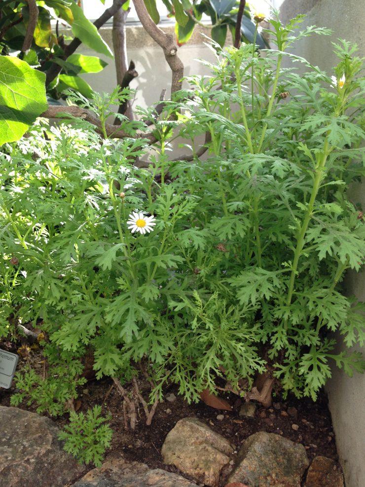 Flore des Canaries