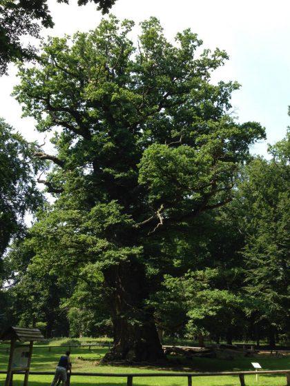 Ivenack, chêne millenaire, le plus vieil arbre d'Europe Centrale. ©Fabrice Chollet