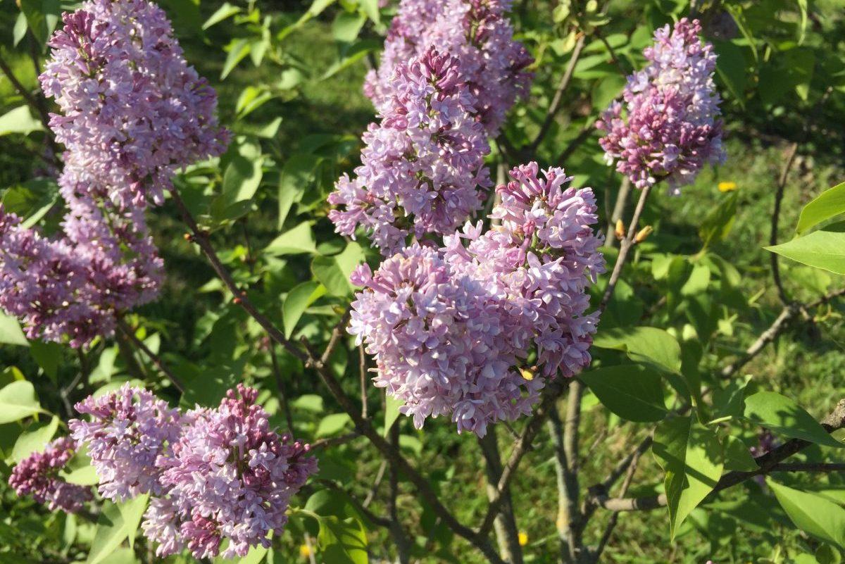 Lilas, Jardin botanique JM Pelt Nancy